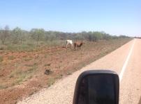 Nog meer koeien langs de weg