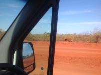 Broodmagere koeien langs de weg