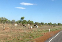 Loslopende koeien