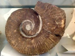 3.1477042932.ammonite-in-het-museum-in-hughenden