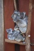 Hoeveel koala's tel je?