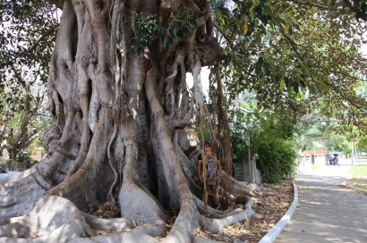 Enorme Fig Tree
