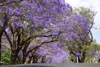 Jacaranda Grafton