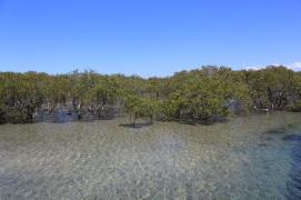 Mangrove in de lagoon Urunga