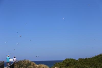 Duizende vlinders passeren de Boardwalk Urunga