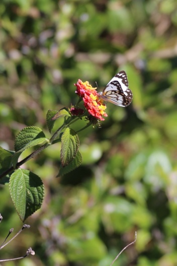 vlinders langs de boardwalk