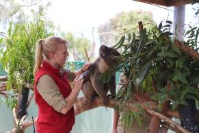 Koala krijgt een vocht injectie