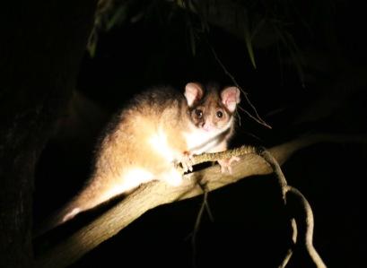 Kleine Possum in de tuin