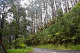 De hoge bomen van de Yarra Valley