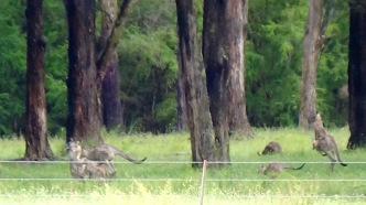 Kangaroes op de comping