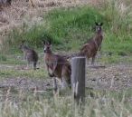 Kangaroes achter de camping