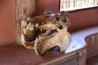 Nijlpaard schedel