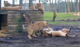Stoeiende leeuwen