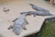 Nijl krokodil