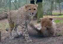 Spelende Cheetah jongen