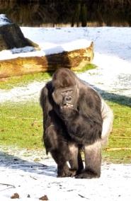 1.1453056912.gorilla