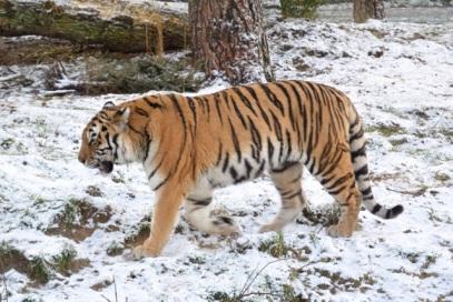 1.1453056912.ijsberende-tijger