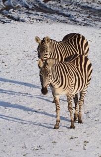 1.1453056912.zebra-s-in-de-sneeuw