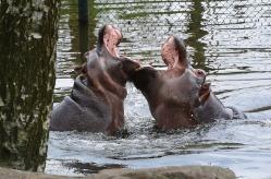 1.1469821348.stoeiende-nijlpaarden