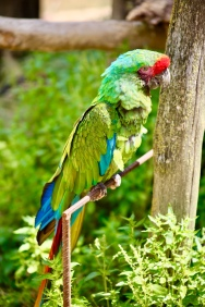 Papagaai in de Zuid Amerikaanse voliere