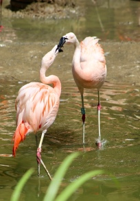 Flamingo's in de Zuid Amerikaanse voliere