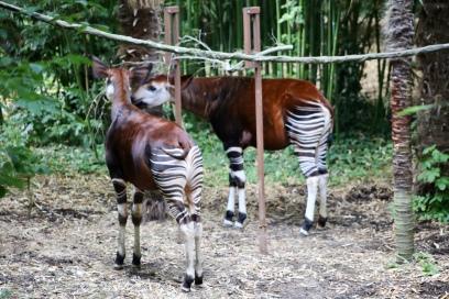 Okapi's