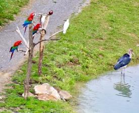 Vogelshow Zoo de Beauval, papagaaien
