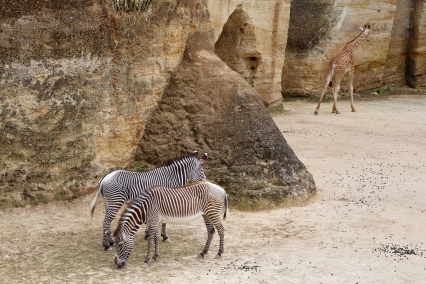 Zebra's in het giraffenkamp