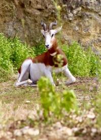 Damagazelle