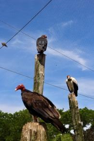Gieren in de Zuid Amerikaanse voliere