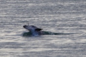 De dolfijn met zijn gevangen vis in Lakes Entrance