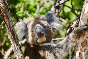 Slaperige Koala