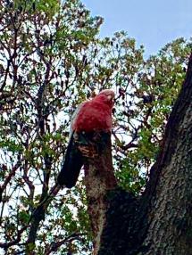 Galah in een boom bij de weg