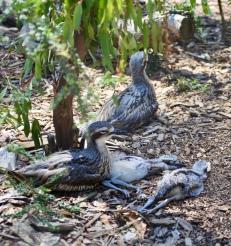 Bush-Stone Curlew paar met 2 jongen