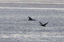 Dolfijn aan het ronddartelen in Lakes Entrance