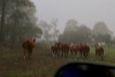 Koeien drijven met de auto