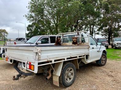 Twee honden bij de Cattle Market