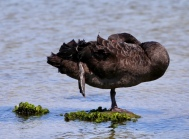 Zwarte zwaan bij Rainman Island