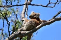 Koala op