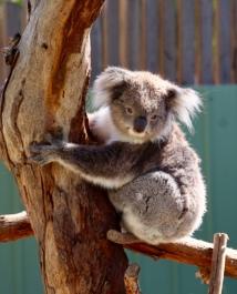 Koala Vincent