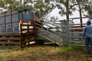 De koeien worden in de vrachtwagen geladen