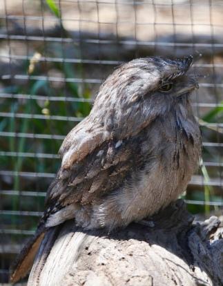 Tawny Frogmouth, een uilensoort